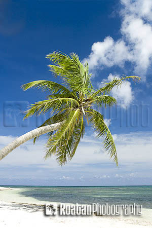 Palm tree leaning over tropical beach and Caribbean_Sea stock photo
